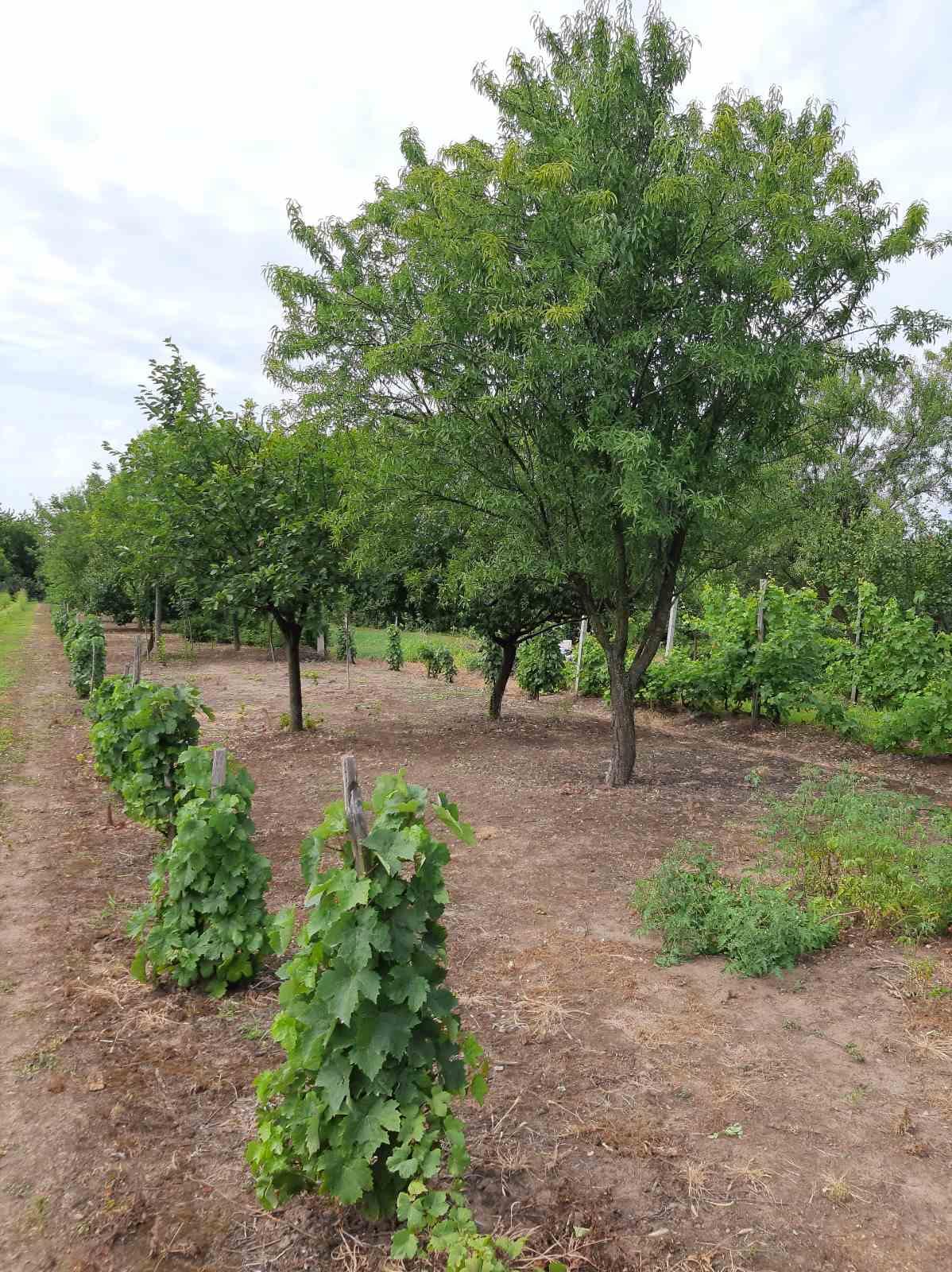 Vikendica, vinograd, Slankamenački Vinogradi